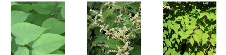 Japanese Knotweed in the summer